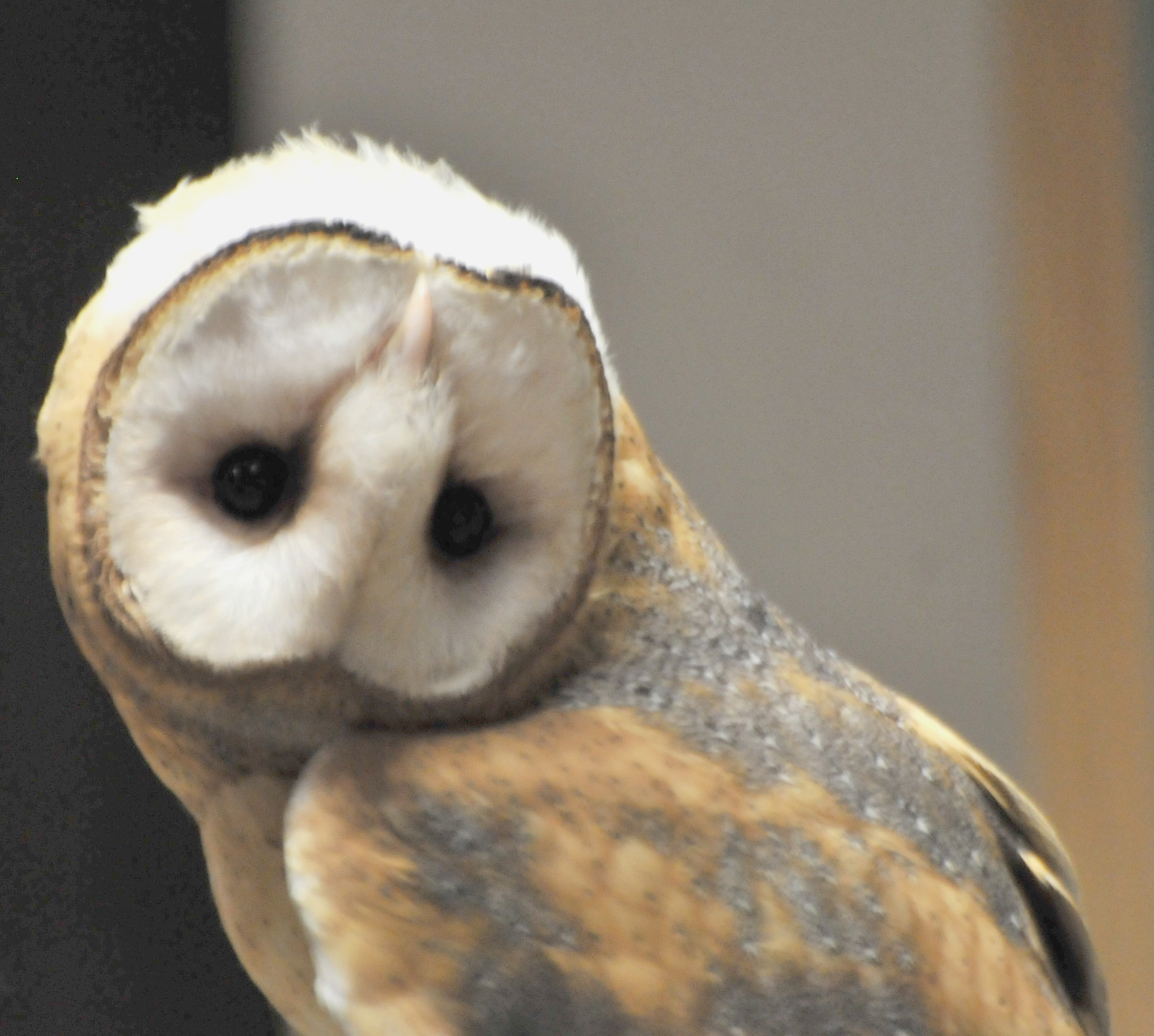 pellet owl barns witches whiskers barn pellets